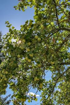 Jabłka na gałęziach drzewa w słoneczny dzień. słońce przebija się przez liście. jabłka i liście są zielone, niebo niebieskie. wiele jabłek.
