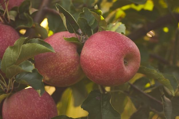 Jabłka przyczepione do rośliny gotowe do zbioru w uprawie jabłek w sadzie.