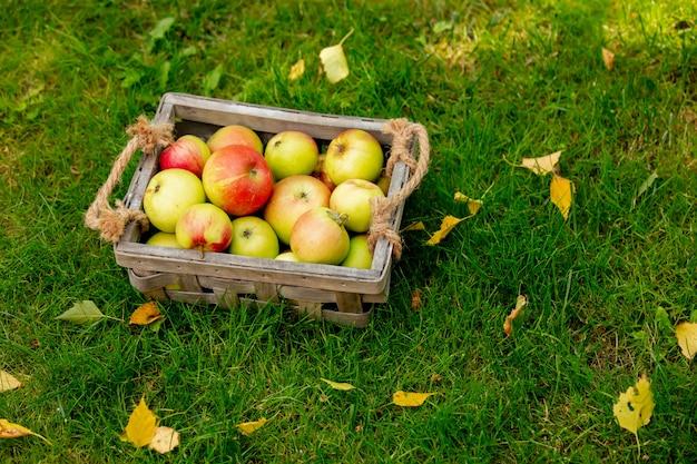 Jabłka w koszu na zielonej trawie w ogrodzie.