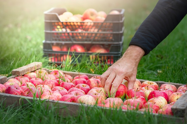 Jabłka w starej drewnianej skrzynce ramowej dłoni
