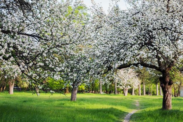 Jabłko kwitnący ogród toru.