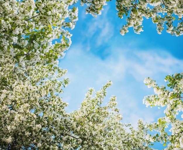 Jabłko kwitnie na niebieskim niebie.