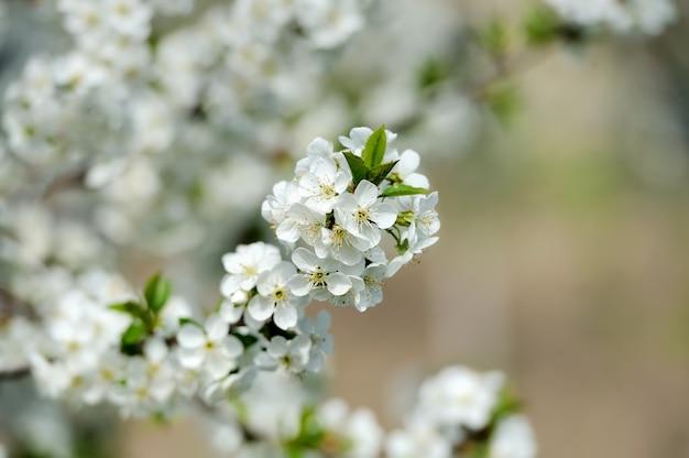 Jabłko kwitnie wiosną