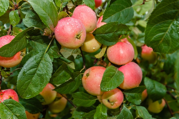 Jabłko na gałęzi w soft-focus w tle. jabłoń. jabłko z kroplami deszczu.