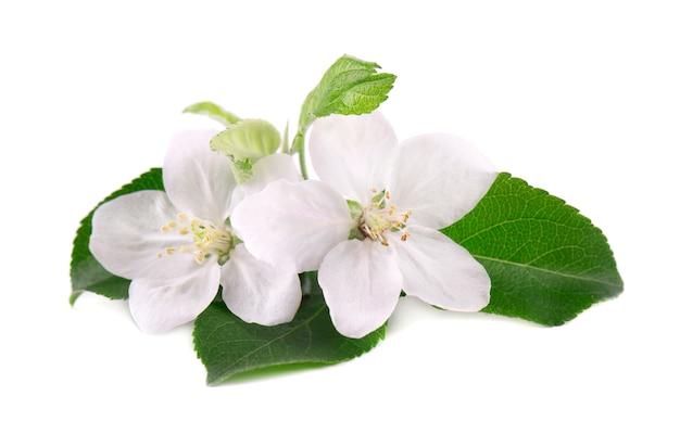 Jabłoń kwiaty odizolowywający na biel przestrzeni. wiosenne kwiaty