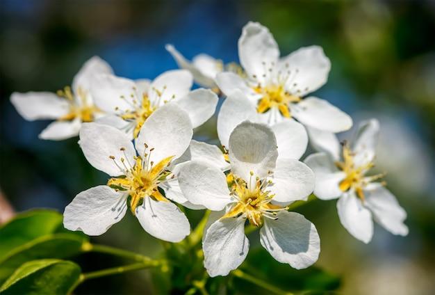 Jabłoń kwitnących kwiatów
