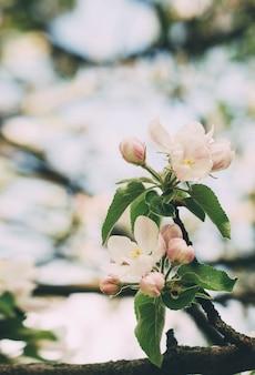 Jabłoń kwitnie na gałąź