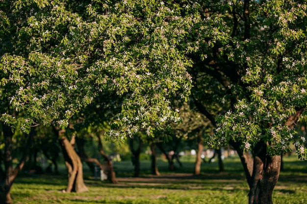 Jabłoń kwitnie na wiosnę