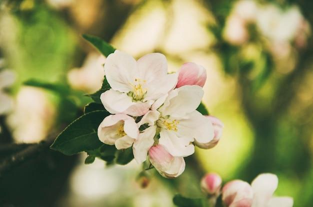 Jabłoń kwitnie z liśćmi