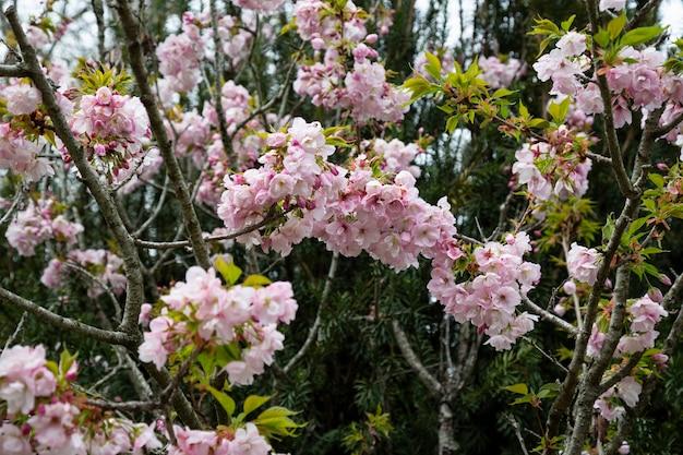 Jabłoń w rozkwicie. różowe tło kwiatowy, lato