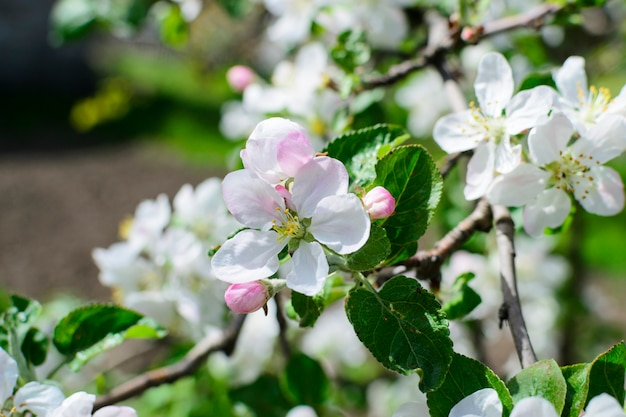 Jabłoń z białą kwiat wiosny fotografią
