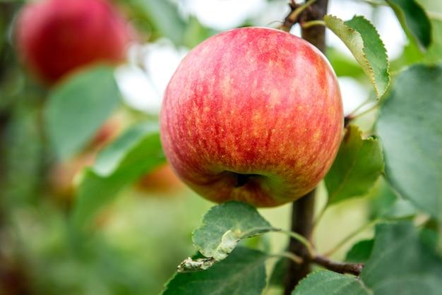 Jabłoń z czerwonymi jabłkami.