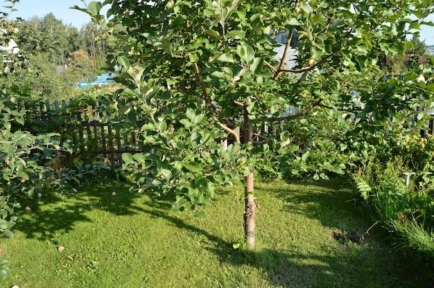 Jabłoń z jabłkami rw ogródzie na tle trawa i drewniany ogrodzenie.