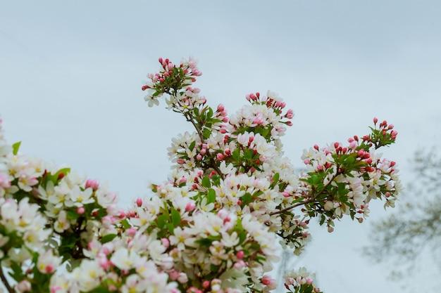 Jabłoni kwiaty wiosna ogród
