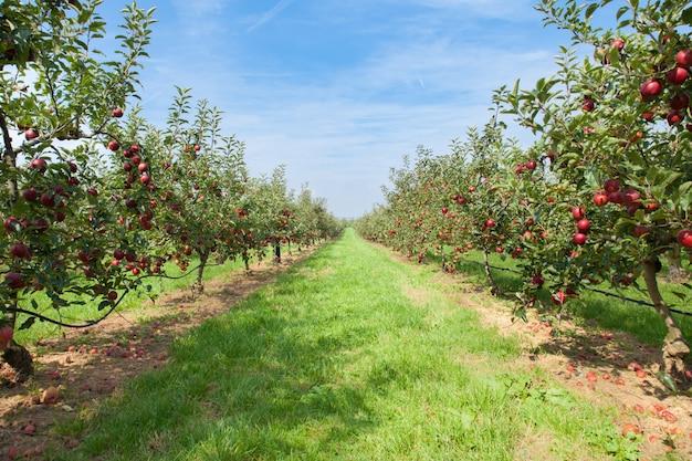 Jabłonie ładowane jabłkami w sadzie latem