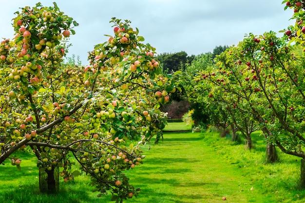 Jabłonie w ogródzie podczas jesieni, uk