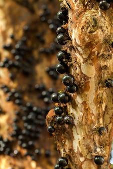 Jaboticaba brazylijskie drzewo z dużą ilością pełnych owoców na pniu