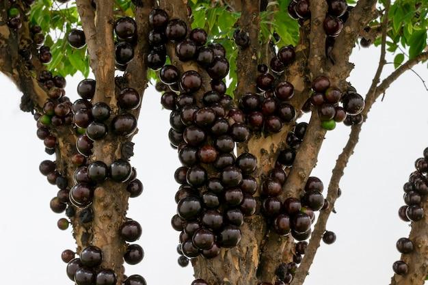 Jabuticaba dojrzewa na drzewie. jaboticaba to rodzime brazylijskie wino.