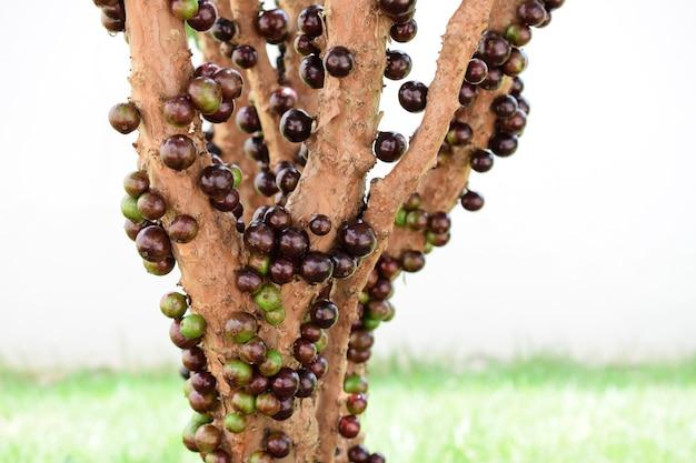 Jabuticaba dojrzewająca na drzewie. jaboticaba to rodzime brazylijskie winogrono.