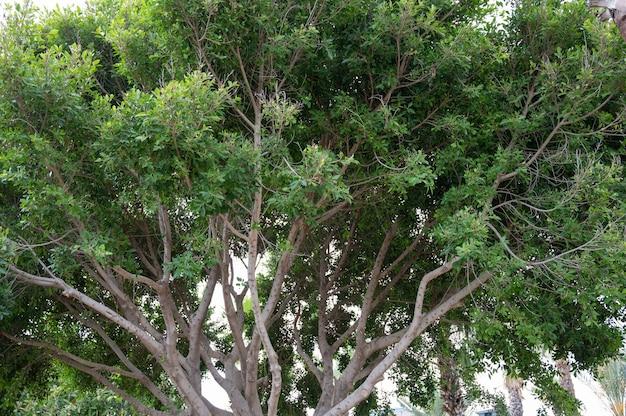 Jabuticabeira z owocami. jabuticabas na drzewie. zdjęcie wysokiej jakości