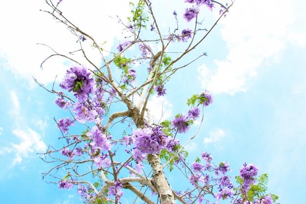 Jacaranda jest na niebieskim tle nieba