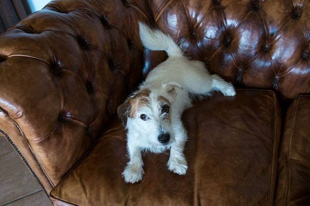 Jack russel pozuje na skórzanej luksusowej sofie biały pies szczeniak drewniana podłoga stylowa i urocza