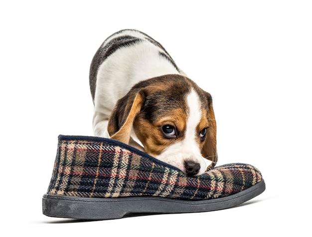 Jack russel szczeniak bawi się pantoflem, na białym tle