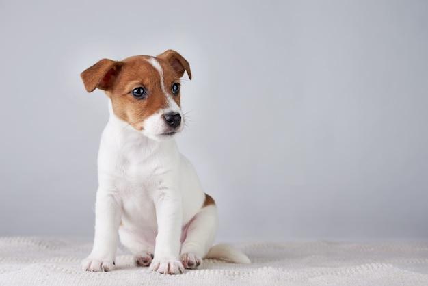 Jack russel terier szczeniak pies na szarej ścianie