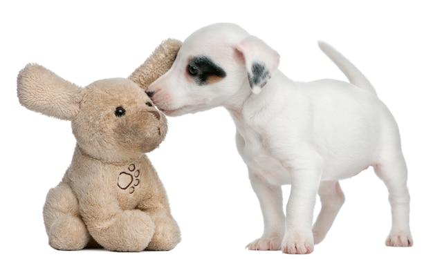 Jack russel terrier puppy (7 tygodni)