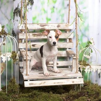 Jack russel terrier siedzący, w dekoracji pasterskiej