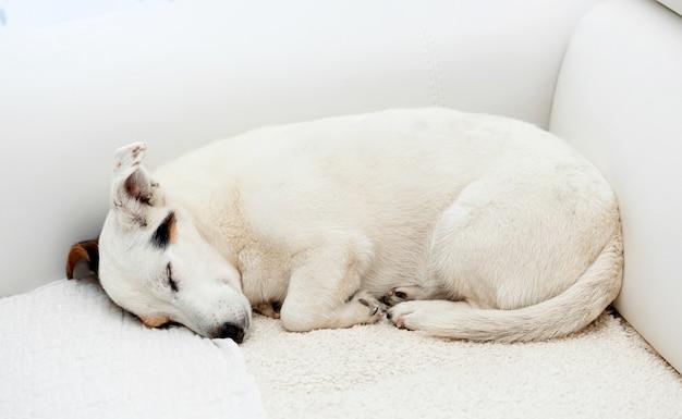 Jack russell pies śpi na białej kanapie.