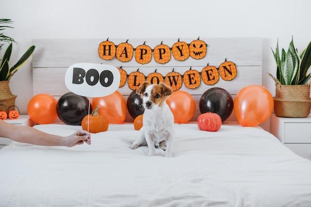Jack russell pies w domu z dekoracjami na halloween