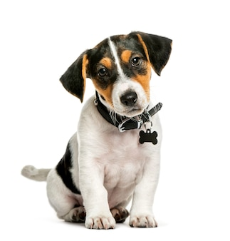 Jack russell terrier, 2 miesiące, siedzący przed białą powierzchnią