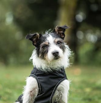 Jack russell terrier, 3 lata, w parku