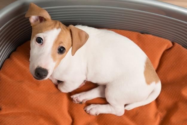 Jack russell terrier leżącego na łóżku dla psów