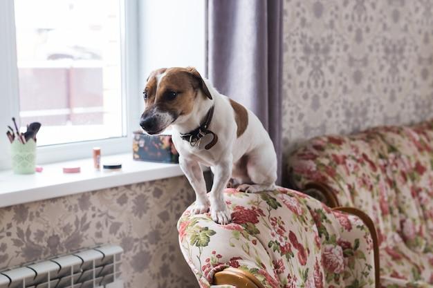 Jack russell terrier leżący w domu. koncepcja domowych i domowych.