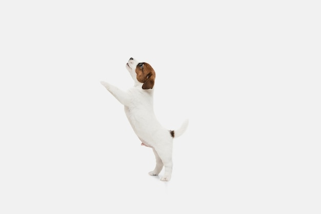 Jack russell terrier mały piesek jazdy, pozowanie na białym tle na białej ścianie. koncepcja miłości, śmieszne emocje zwierzaka. miejsce na reklamę. pozowanie słodkie.