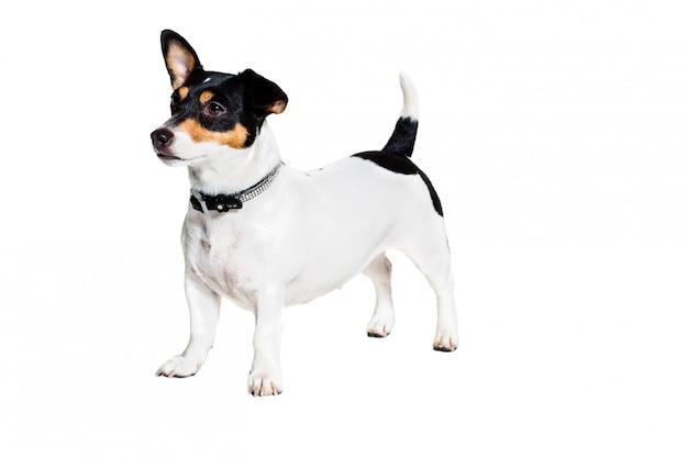 Jack russell terrier na bielu