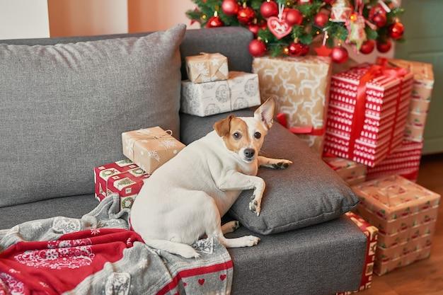 Jack russell terrier na tle nowego roku.