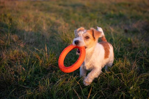 Jack russell terrier nosi w zębach pomarańczowy pierścionek-zabawkę
