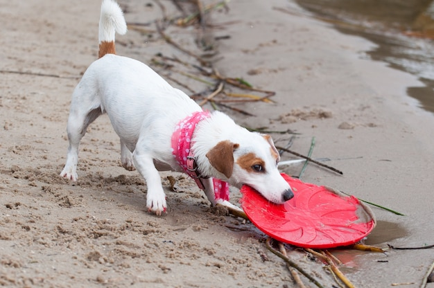 Jack russell terrier pies bawi się frisbee
