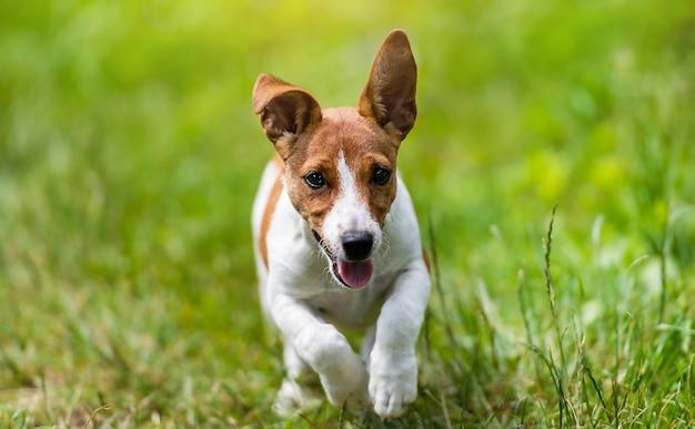 Jack russell terrier pies biegnie i skacze po zielonej trawie