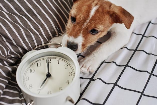Jack russell terrier pies i vintage budzik w łóżku
