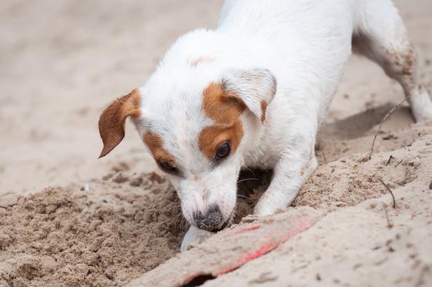 Jack russell terrier pies kopie na plaży