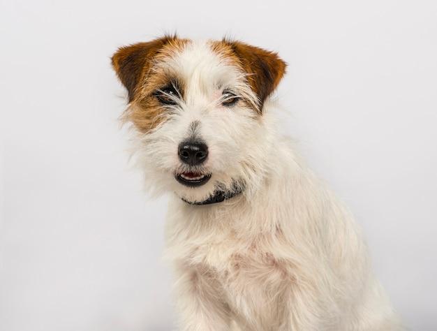 Jack russell terrier pies patrzeje kamerę przeciw białemu tłu