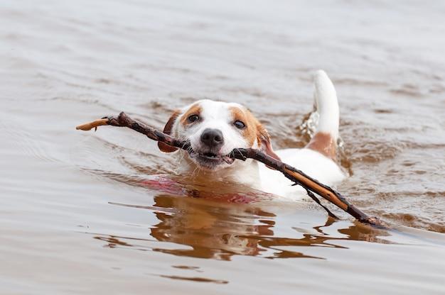 Jack russell terrier pies pływający z dużym kijem w ustach