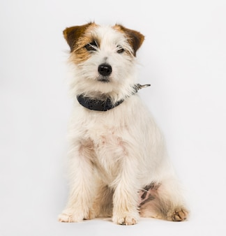 Jack russell terrier pies siedzi na białym tle