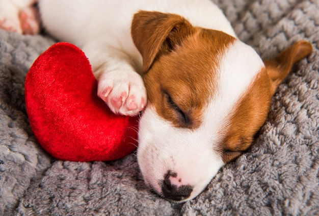 Jack russell terrier pies szczeniak leżący z sercem