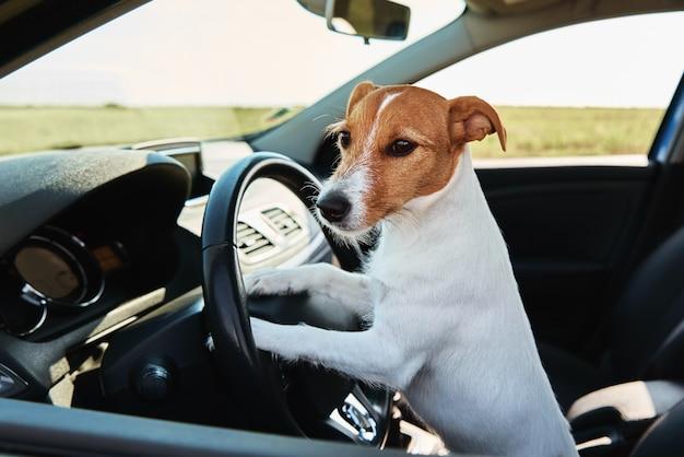 Jack russell terrier pies w samochodzie na siedzeniu kierowcy