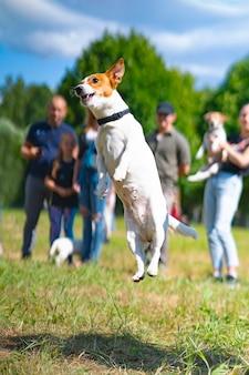 Jack russell terrier pies w wyskoku bawi się w parku na trawie